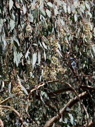 Eucalyptus polyanthemos IMG_9543