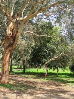 Eucalyptus polyanthemos IMG_9545