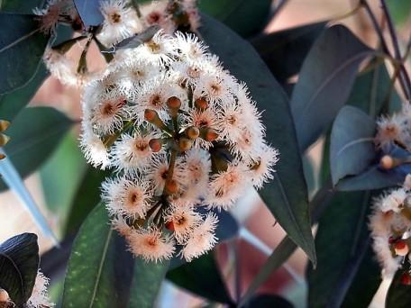 Eucalyptus porosa IMG_5604-001 (3)