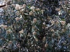 Eucalyptus porosa IMG_5605 (2)