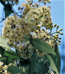 Eucalyptus porosa IMG_5608-001 (3)