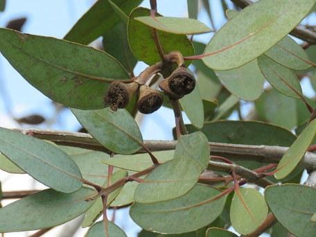 Eucalyptus preissiana IMG_9437