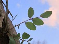 Eucalyptus preissiana IMG_9441