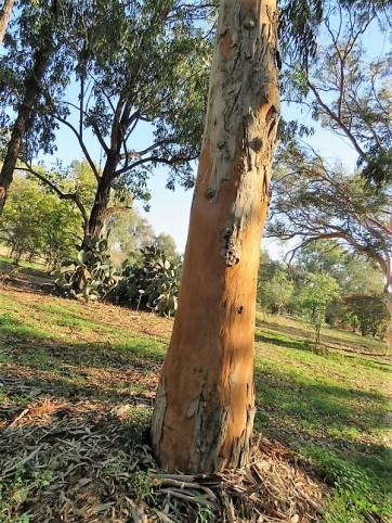 Eucalyptus propinquaIMG_5546 (2)