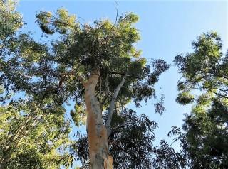 Eucalyptus propinquaIMG_5547-001 (2)