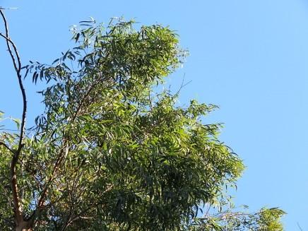 Eucalyptus propinquaIMG_5548 (2)