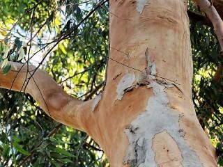 Eucalyptus propinquaIMG_5549 (3)