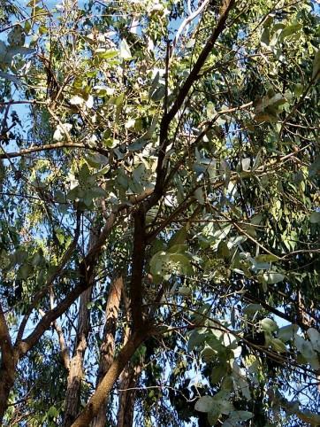 Eucalyptus pruinosaIMG_5544 (2)