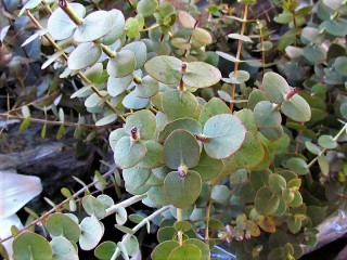 Eucalyptus pulverulenta IMG_8881 (2)
