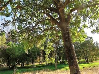 Eucalyptus robertsonii IMG_5453 (3)