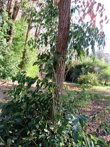 Eucalyptus robertsonii IMG_5455 (2)
