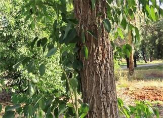 Eucalyptus robertsonii IMG_5456-001 (2)