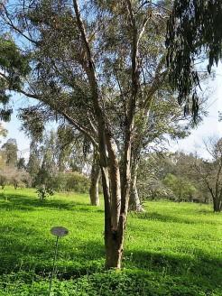 Eucalyptus sargentii IMG_9690 (2)