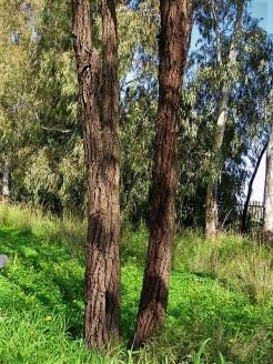 Eucalyptus sideroxylon IMG_9697 (2)