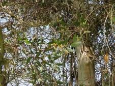 Eucalyptus steedmanii IMG_9453