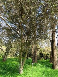 Eucalyptus steedmanii IMG_9454
