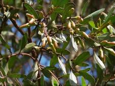 Eucalyptus steedmanii IMG_9456 (2)