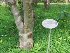 Eucalyptus steedmanii IMG_9457