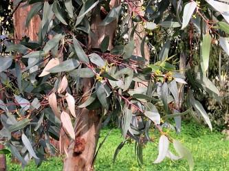 Eucalyptus stricklandii IMG_9860 (3)