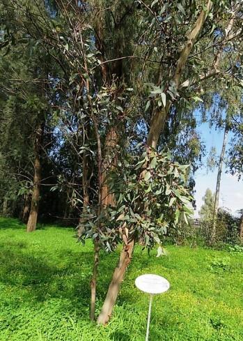 Eucalyptus stricklandii IMG_9861-001 (3)