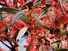 Eucalyptus torquata IMG_5030