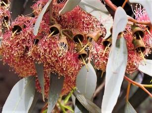 Eucalyptus torquata_IMG_2172 (3)