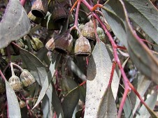 Eucalyptus torquata_IMG_8585 (3)
