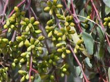 Eucalyptus torquata_IMG_8590 (2)