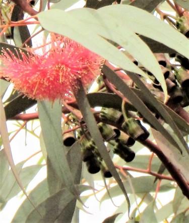 Eucalyptus torqwood_IMG_2156-a (2)