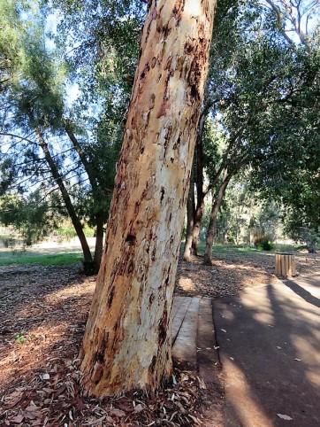 Eucalyptus wandoo IMG_5345 (2)