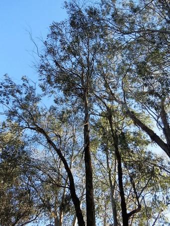 Eucalyptus woollsiana IMG_5412 (2)