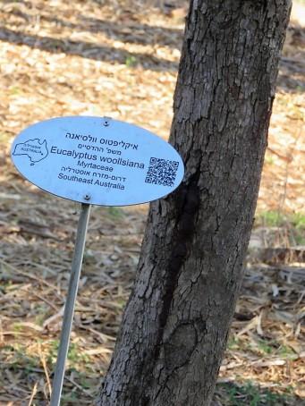 Eucalyptus woollsiana IMG_5413 (2)