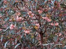 Eucalyptus_IMG_0447 (2)