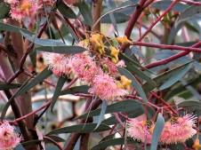 Eucalyptus_IMG_0448 (2)