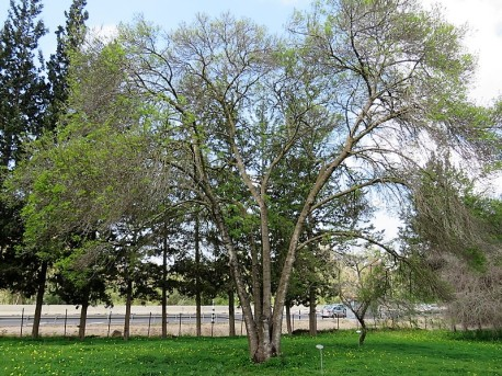 Fraxinus angustifolia IMG_9361 (2)