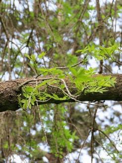 Fraxinus angustifolia IMG_9368 (2)
