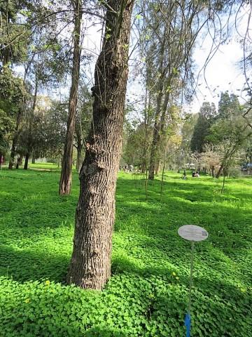 Fraxinus pennsylvanica IMG_9405 (2)