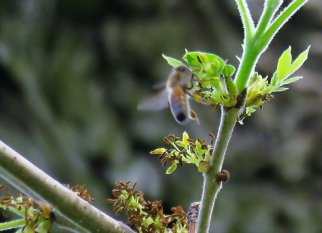 Fraxinus pennsylvanica IMG_9407-001 (2)-a