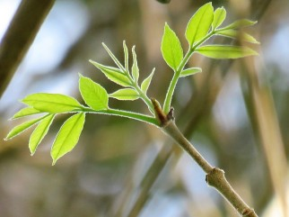 Fraxinus pennsylvanica IMG_9408 (2)