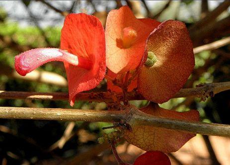 Holmskioldia sanguinea PB020190-003
