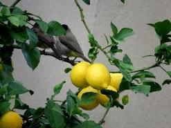 Limon_Bulbul_IMG_5692-001