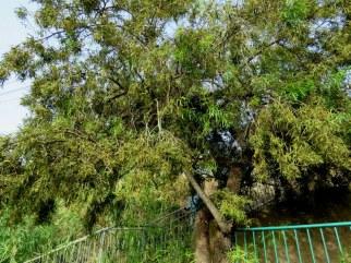Schinus Piper IMG_5262-001