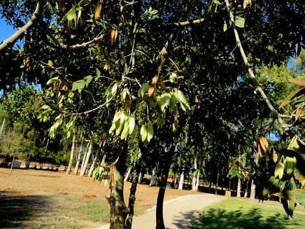 Yasen_Fraxinus angustifolia IMG_5248-001