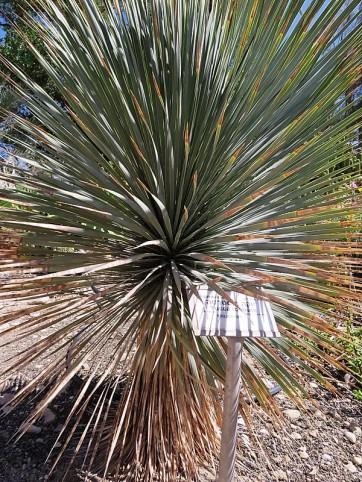 Yuccarostrata IMG_1043-001 (2)
