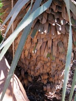 Yuccarostrata IMG_1102-001 (2)