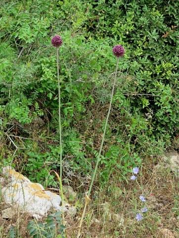 _Allium ampeloprasum IMG_2453-001