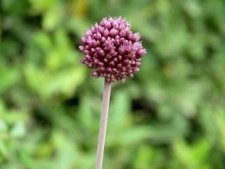 _Allium ampeloprasum IMG_2456-002