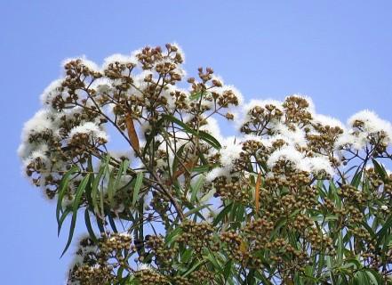 Angophora costata IMG_3083 (2)