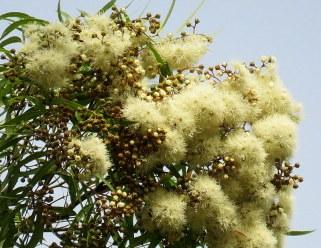 Angophora costata IMG_3098-002