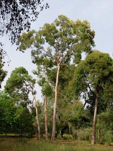 Angophora costata IMG_3109-002